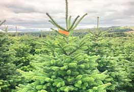 Christmas Tree Specialists Gallery-1