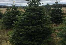 Christmas Tree Specialists Gallery-10