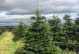 Christmas Tree Specialists Gallery-12
