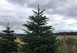 Christmas Tree Specialists Gallery-13