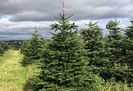 Christmas Tree Specialists Gallery-14