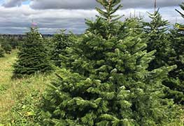 Christmas Tree Specialists Gallery-15