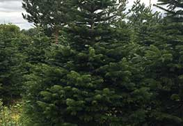 Christmas Tree Specialists Gallery-16