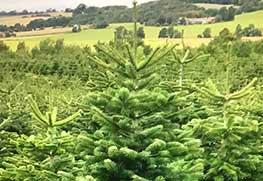 Christmas Tree Specialists Gallery-18