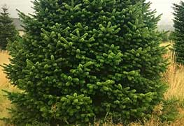 Christmas Tree Specialists Gallery-2