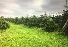 Christmas Tree Specialists Gallery-21