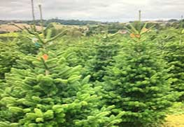 Christmas Tree Specialists Gallery-3