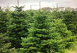 Christmas Tree Specialists Gallery-4