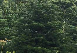 Christmas Tree Specialists Gallery-6