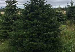 Christmas Tree Specialists Gallery-9